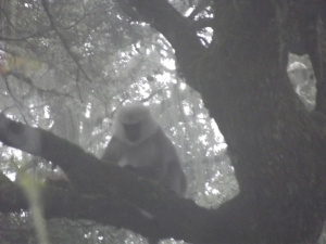 Grey langur giving us the once-over